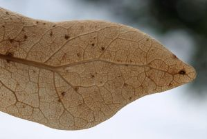 dead leaf veins 2 by agaillard
