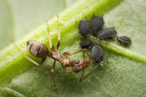The ant and the aphids by Deformity