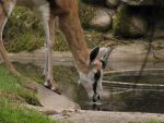 Springbok 02 by animalphotos