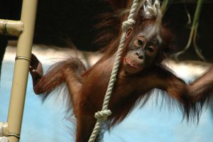 Baby Orangutan by Almighty-Vincent