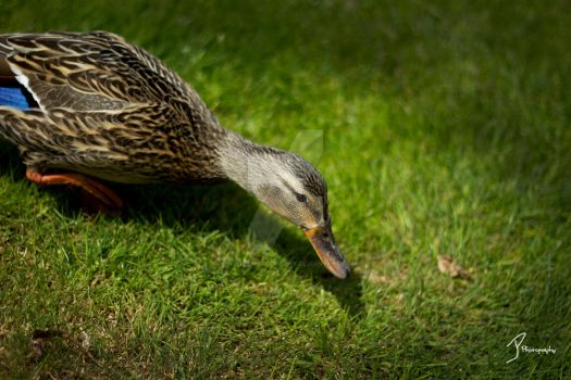 Duck by KingPinPhotography