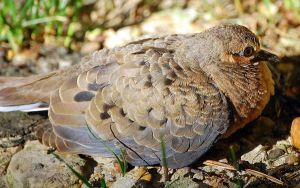 Juvenile Dove by shapu