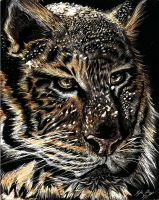 Winter Tiger Scratch Board by Frabulator