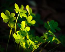 Clovers by isotophoto