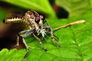 The Robber fly by hirza