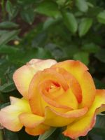 .stock: yellow rose bud. by guavon-stock