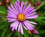 New England Aster by AppleBlossomGirl