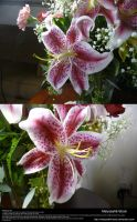 Stargazer Lily Stock 2 by Melyssah6-Stock