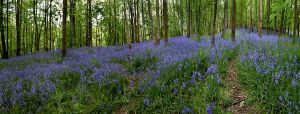 Bluebell Wood by nectar666