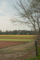 Flowering bulbs fields 2 by steppelandstock