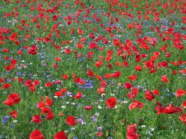 Poppies and Wildflowers II by wulfster