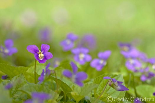 Wild Viola by CecilyAndreuArtwork
