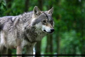 European Wolf 347 by Canisography