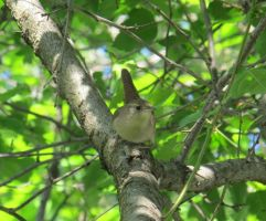 House Wren 3a by Windthin