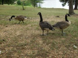 Canadian Geese by celticpath