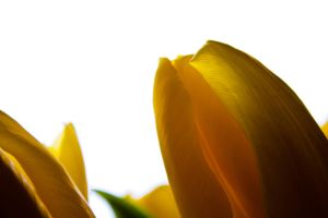 Yellow tulips by REI-BCN