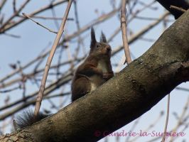 Squirrel 27 by Cundrie-la-Surziere