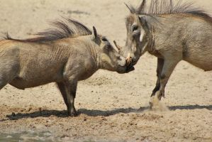 Warthog - African Wildlife - Knock-out Punch by LivingWild