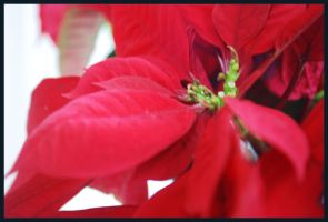 Poinsettia by quasigeek