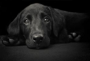Lab Puppy by prologic77