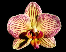 A Orchid For Lara by Dieffi