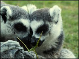 Lovely Lemurs by Catticat
