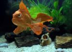 Angry Goldfish by Cyrille-Dethan
