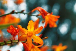 Orange flower by ScreamSupreme