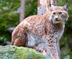 Lynx4 by PictureByPali