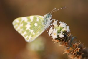 Butterfly's beaty by corsuse