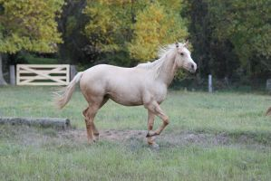 Palomino Mare 23 by How-You-Remind-Me