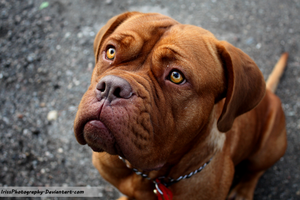 Dogue the Bordeaux by IrissPhotography