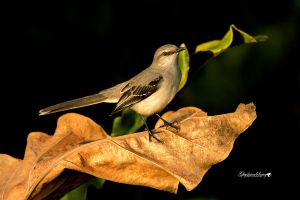 Little mocking bird by gigi50