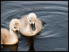 Cygnets Together by Mogrianne