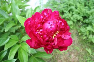 Peonies by Loulou13