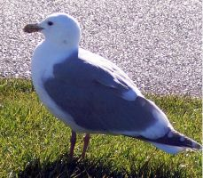 Simply Seagull by Photos-By-Michelle