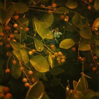 berries by Amalus