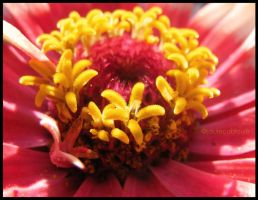 Zinnia by louiecablouie