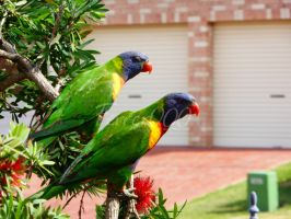 Rainbow Lorikeets by FerrerTriple0