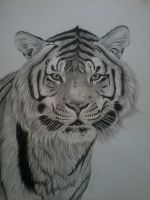 Tiger Pencil drawing. by TheArtistSamanthaST