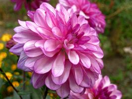 Dahlias by butenkof