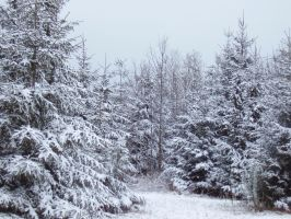 Snowy Pines by Pentacle5