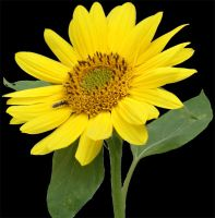sunflower 2 psd by gd08