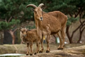 barbary sheep with child by Drezdany-stocks