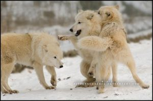 Playful attack by Tiefenschaerfe