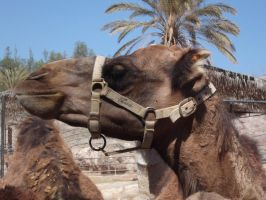 Camel Reference Stock One by SilverNight1079