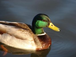 Mallard Duck by MapleRose