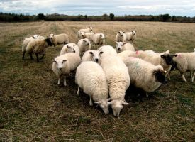 SHEEP 3 by ruthey