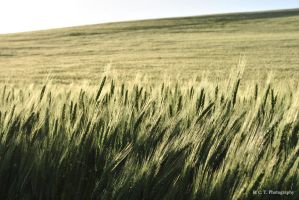 Wheat Field 1 by RColinTaylor