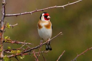Goldfinch by Cantabrigian